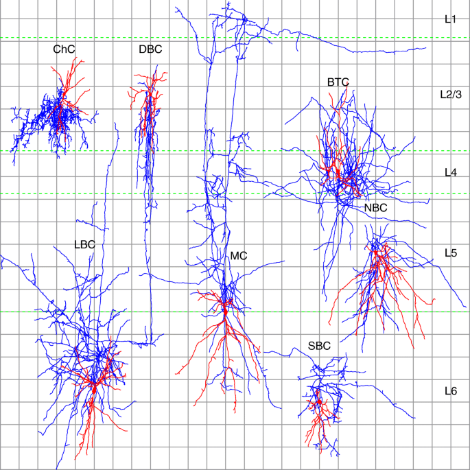 Towards a supervised classification of neocortical