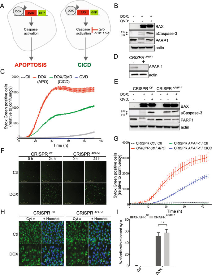 Caspase-independent cell death does not elicit a proliferative
