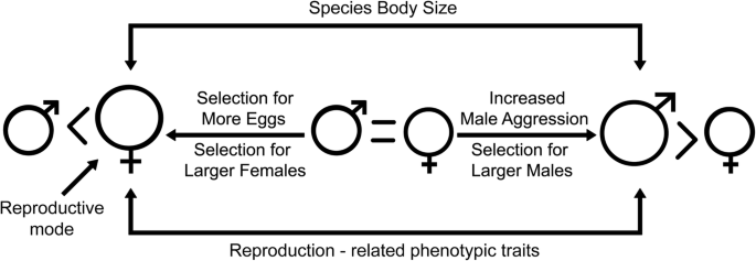 Macroevolution of sexual size dimorphism and reproduction