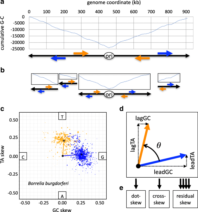 Novel metrics for quantifying bacterial genome composition skews