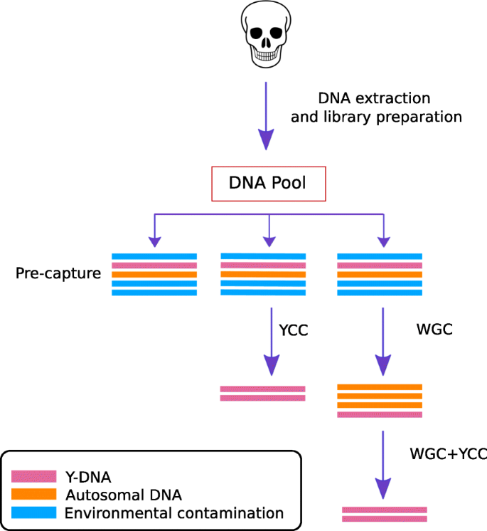 In-solution Y-chromosome capture-enrichment on ancient DNA