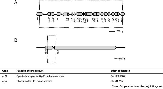 Genome rearrangements in Escherichia coli during de novo acquisition
