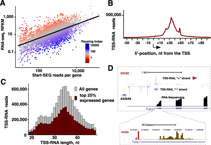 Genome-wide RNA pol II initiation and pausing in neural