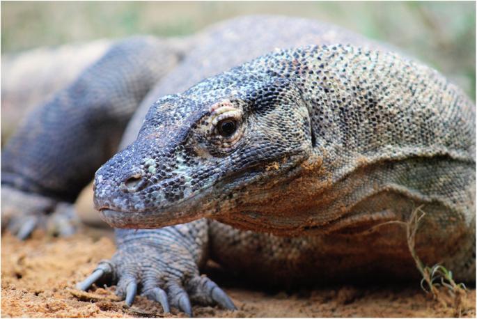 The Komodo Dragon Varanus Komodoensis Genome And