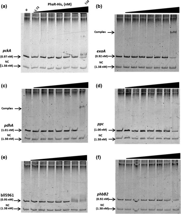 Bradyrhizobium diazoefficiens USDA110 PhaR functions for