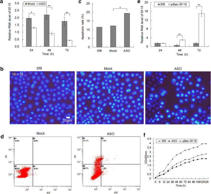 Small nucleolar RNA Sf-15 regulates proliferation and