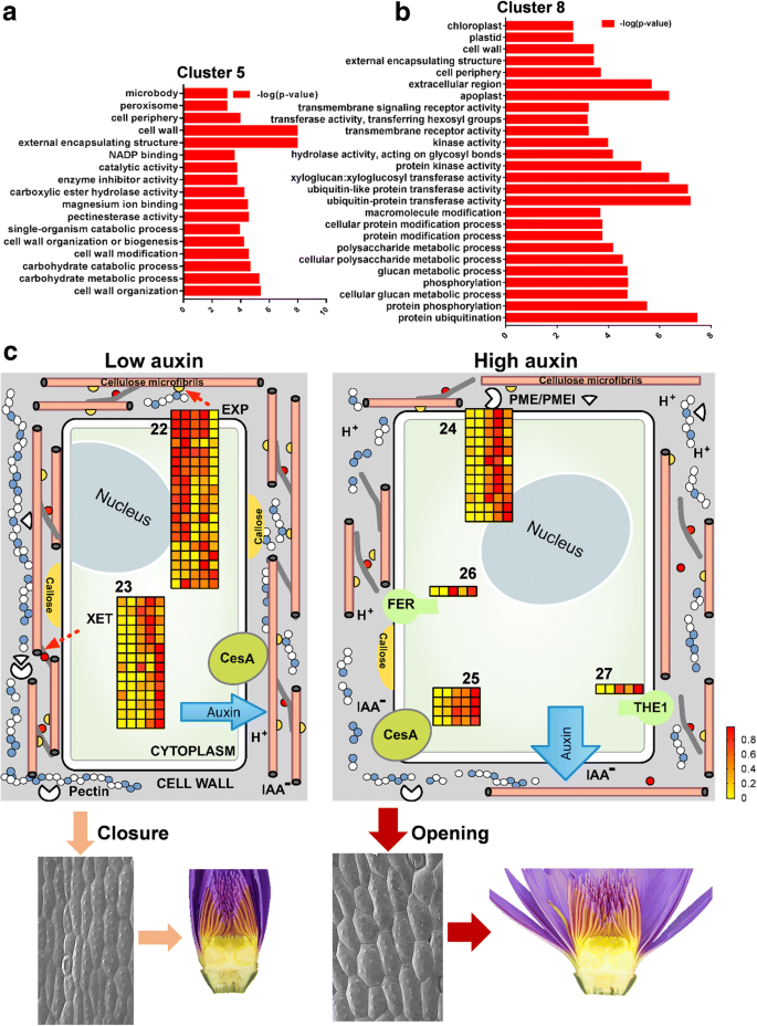 Auxin controls circadian flower opening and closure in the