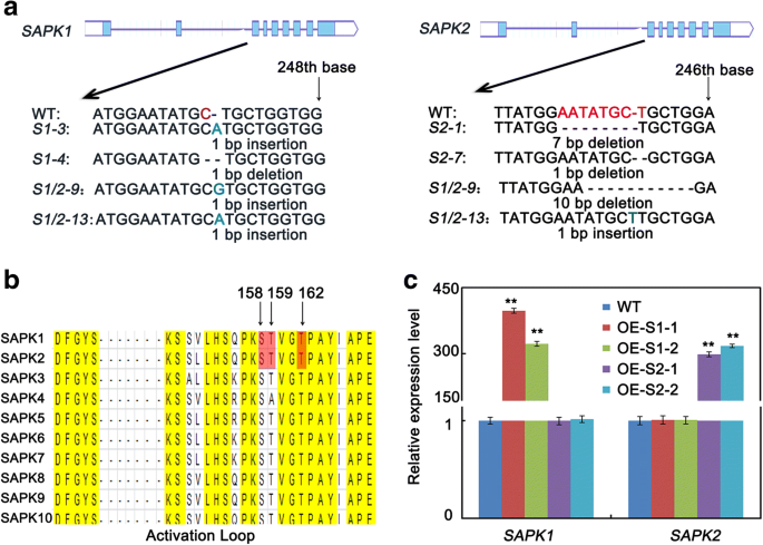 The sucrose non-fermenting-1-related protein kinases SAPK1 and SAPK2
