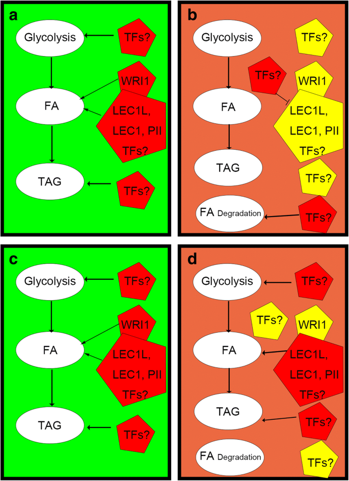 Molecular mechanism of the extended oil accumulation phase