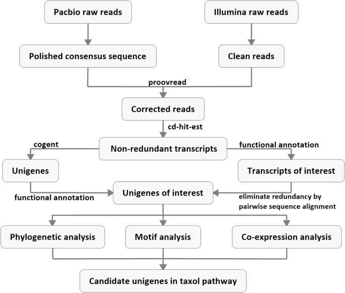 Iso-Seq analysis of the Taxus cuspidata transcriptome