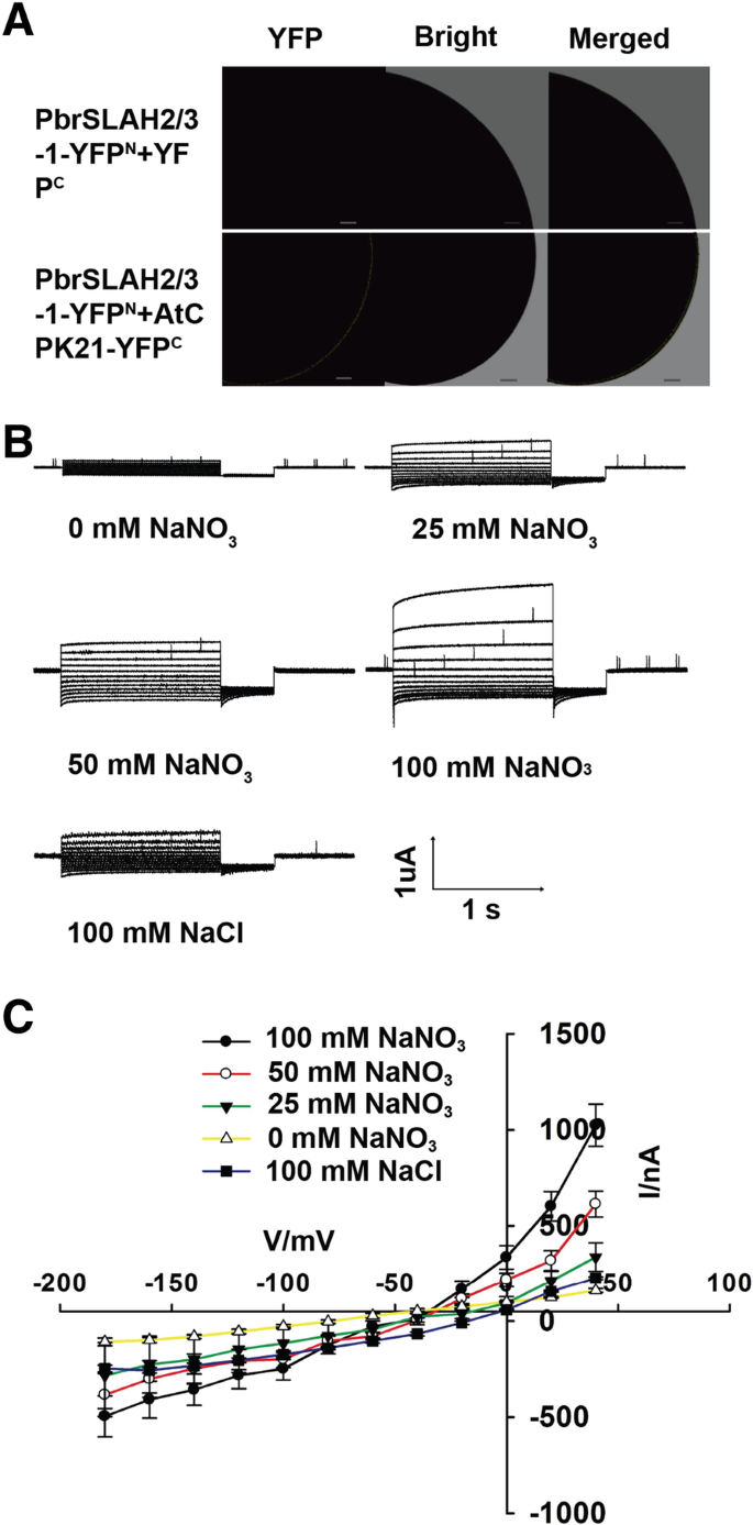 PbrSLAH3 is a nitrate-selective anion channel which is modulated by