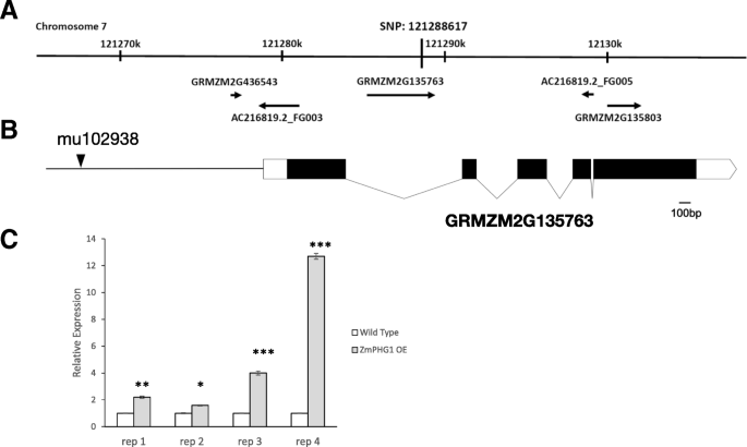 A maize polygalacturonase functions as a suppressor of programmed