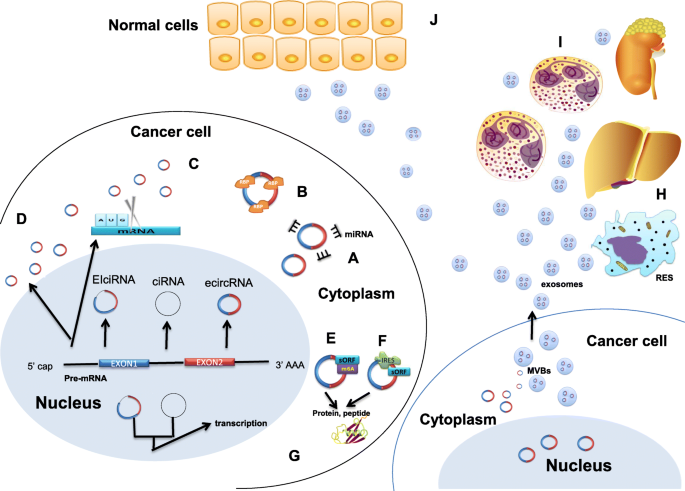 Circular Rna New Star New Hope In Cancer Bmc Cancer Full Text