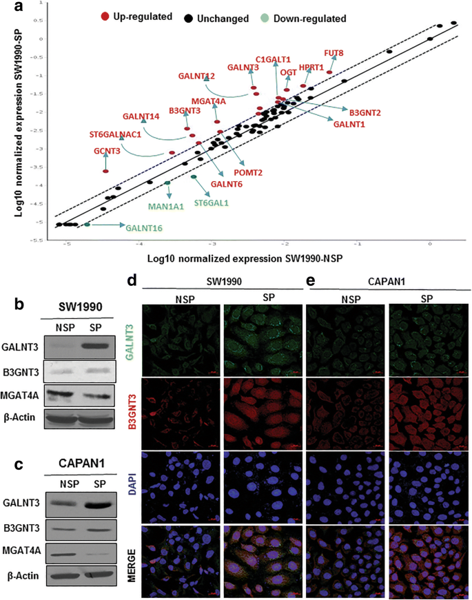 Novel role of O-glycosyltransferases GALNT3 and B3GNT3 in the self