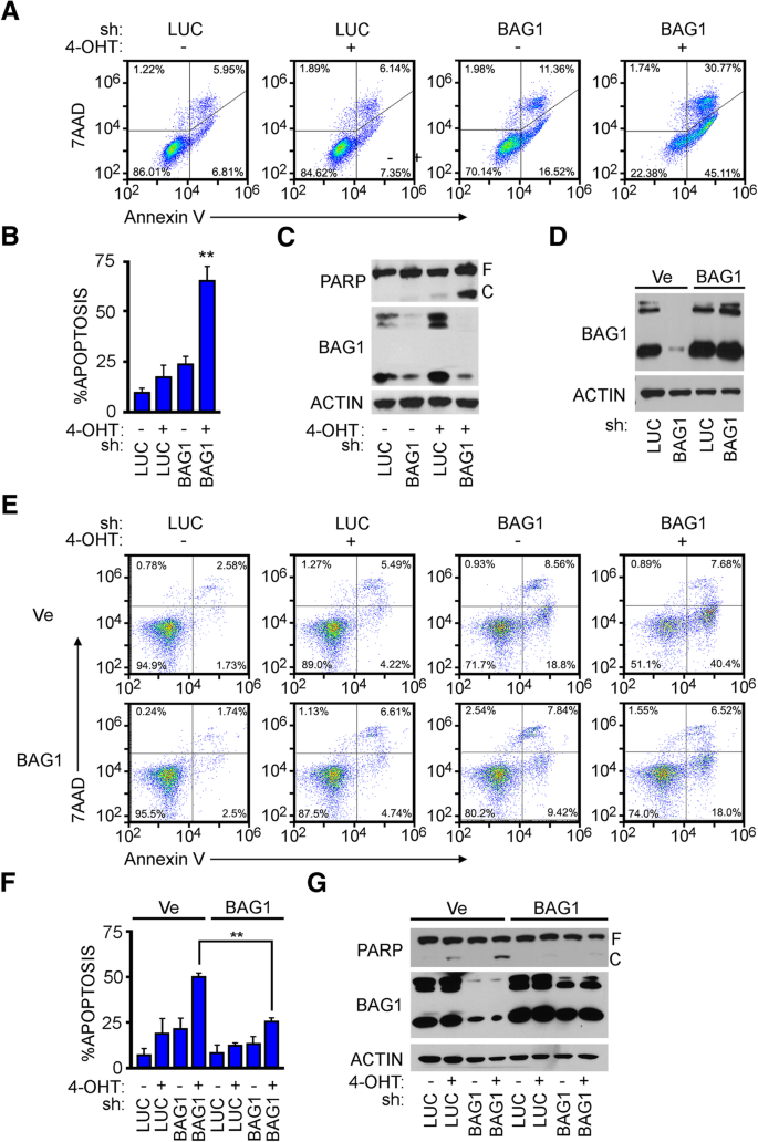 Interaction between the BAG1S isoform and HSP70 mediates the