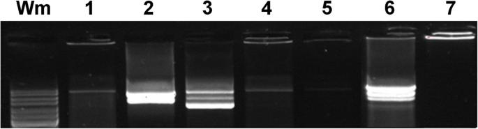 A novel human in vitro papillomavirus type 16 positive