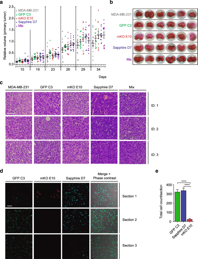 The role of clonal communication and heterogeneity in breast