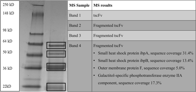 The production of a recombinant tandem single chain fragment