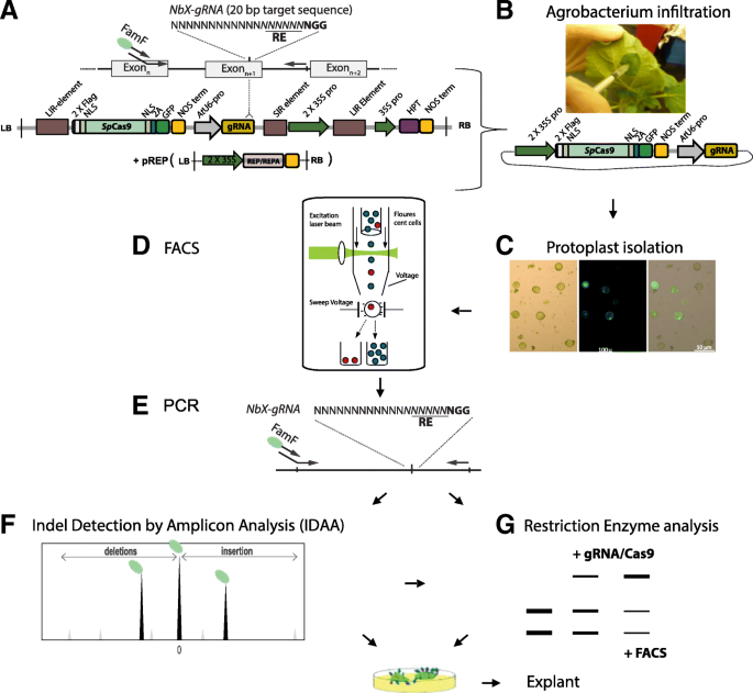 Improved CRISPR/Cas9 gene editing by fluorescence activated