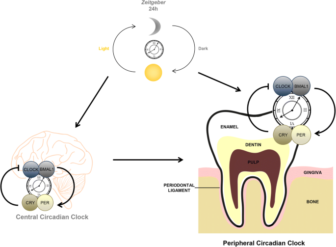 Chronodentistry: the role & potential of molecular clocks in oral medicine  | BMC Oral Health | Full Text