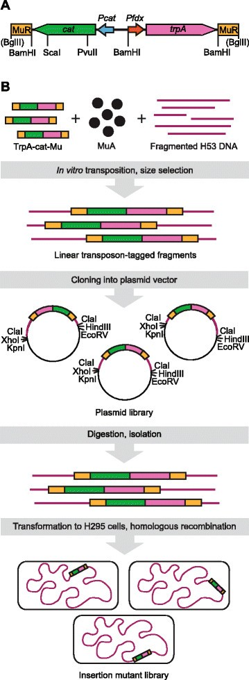 Generation of comprehensive transposon insertion mutant library ...