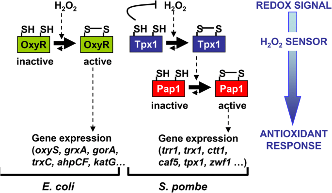 Using in vivo oxidation status of one- and two-component redox