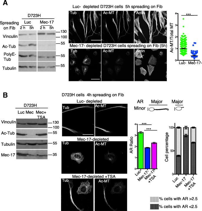 Microtubule polyglutamylation and acetylation drive