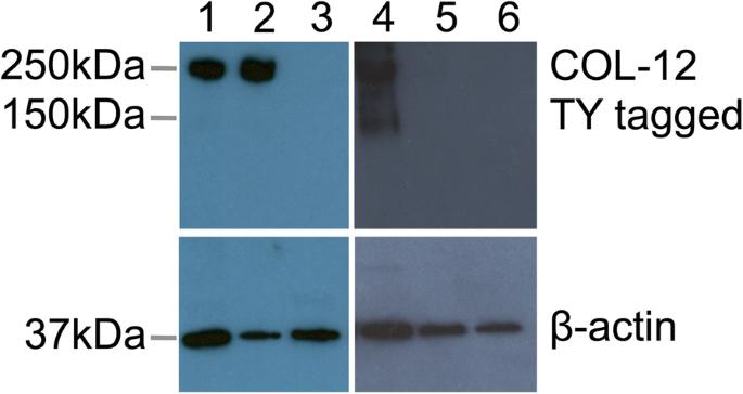 The golden death bacillus Chryseobacterium nematophagum is a