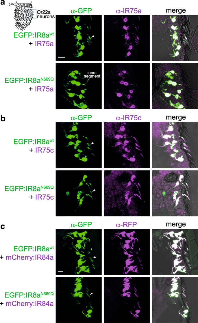 In vivo assembly and trafficking of olfactory Ionotropic