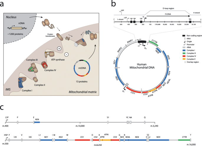 Mitochondrial Dna The Overlooked Oncogenome Bmc Biology