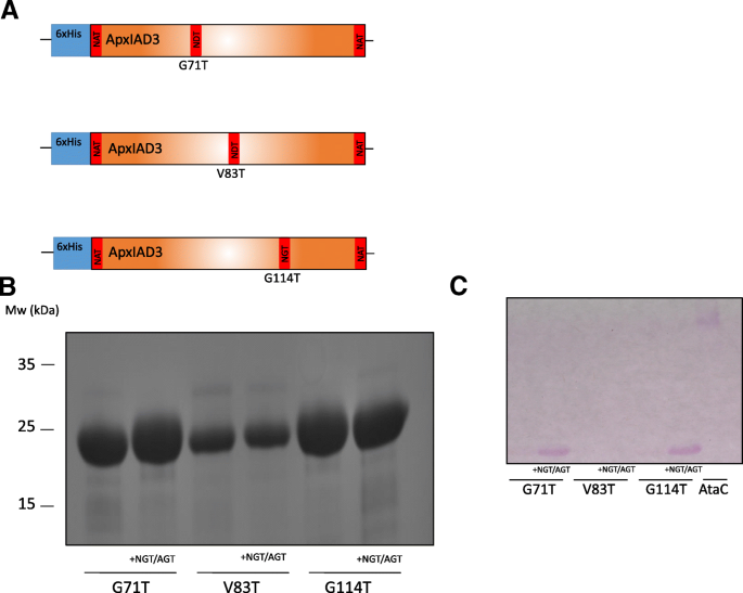Cytoplasmic glycoengineering of Apx toxin fragments in the