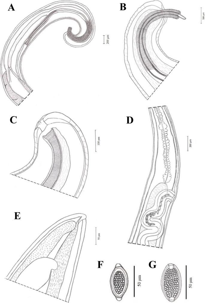 trichocephalosis mrs