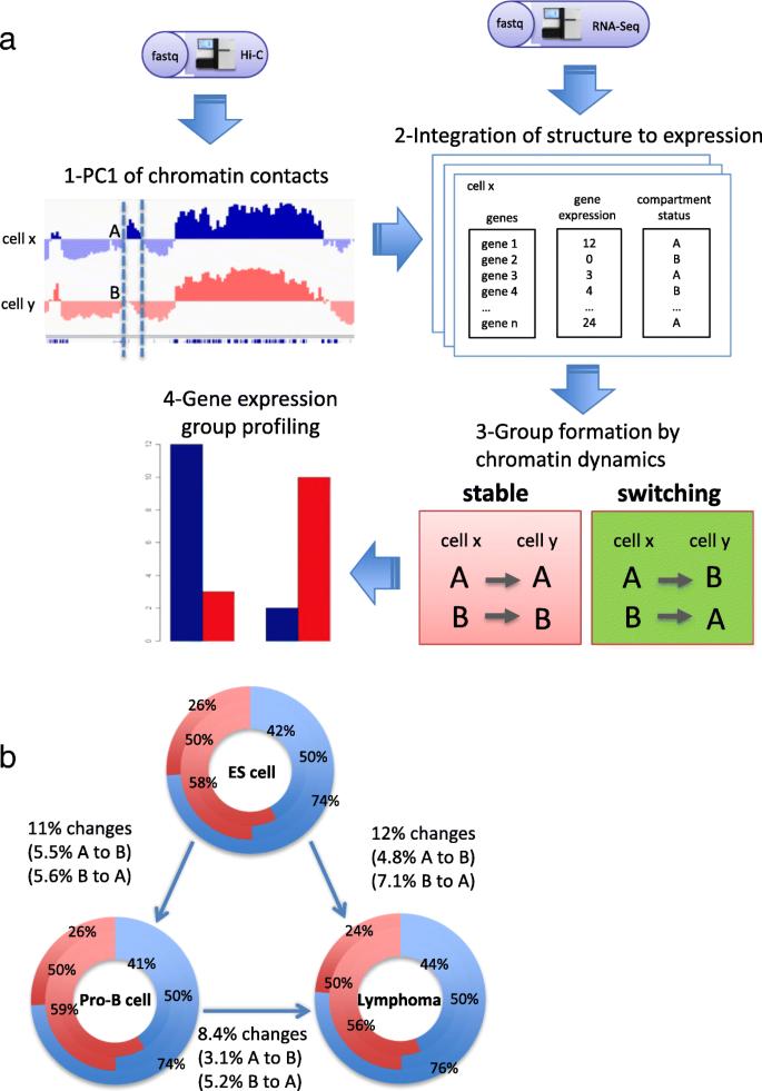 Analyzing the 3D chromatin organization coordinating with gene
