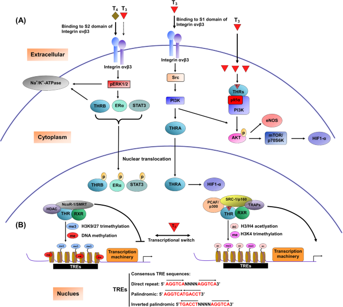 Molecular Functions And Clinical Impact Of Thyroid Hormone