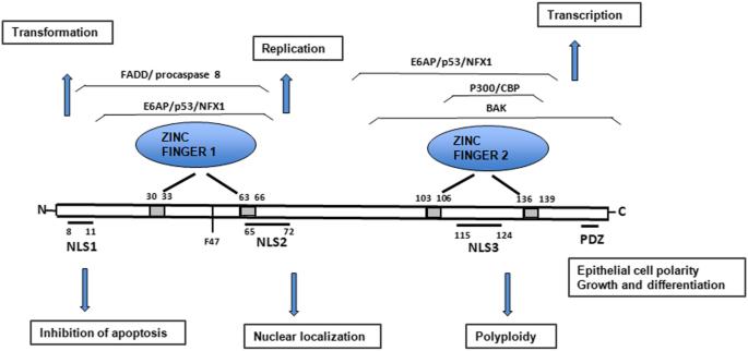 Zinc papillomavirus - Tratament natural impotriva HPV, papilloma virus uman Zinc papillomavirus