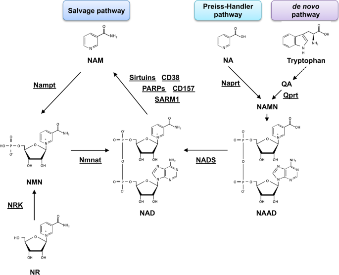 Implications of altered NAD metabolism in metabolic