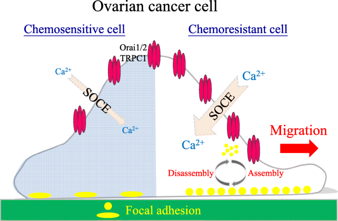 Chemoresistant Ovarian Cancer Enhances Its Migration Abilities By Increasing Store Operated Ca 2 Entry Mediated Turnover Of Focal Adhesions Journal Of Biomedical Science Full Text