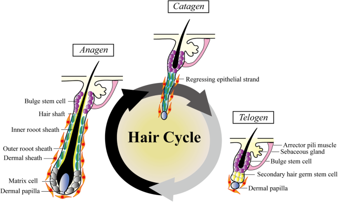 Functional complexity of hair follicle stem cell niche and ...