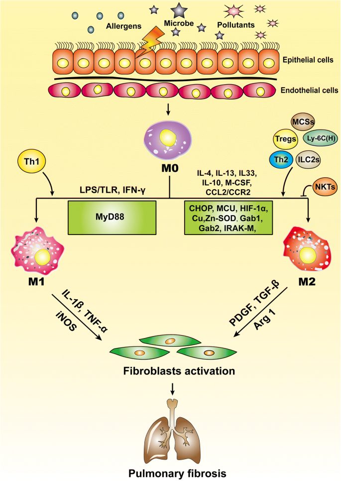 Macrophages: friend or foe in idiopathic pulmonary fibrosis