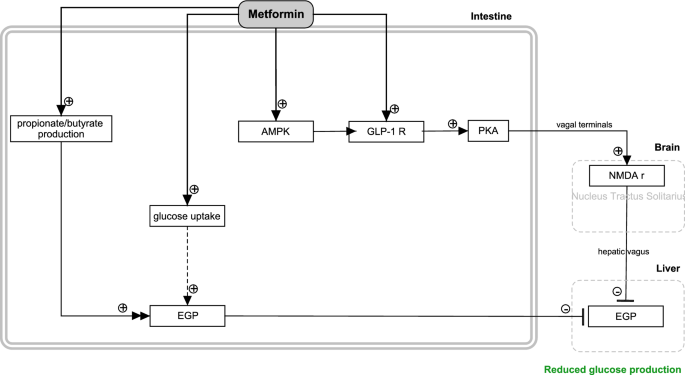 Actions of metformin and statins on lipid and glucose metabolism and