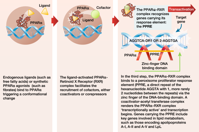The selective peroxisome proliferator-activated receptor