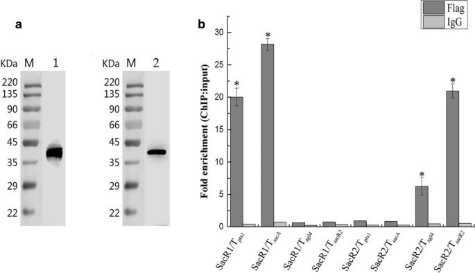 The local transcriptional regulators SacR1 and SacR2 act as ...