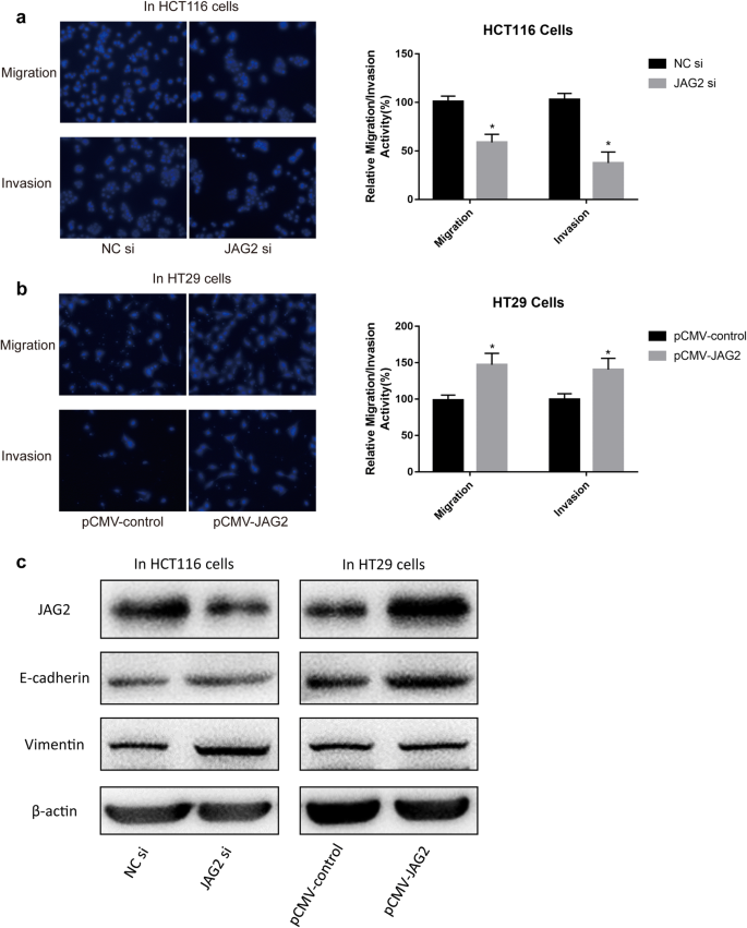 Mutual regulation of JAG2 and PRAF2 promotes migration and invasion