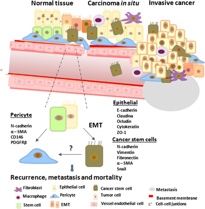 Effects Of Pericytes And Colon Cancer Stem Cells In The Tumor Microenvironment Cancer Cell International Full Text
