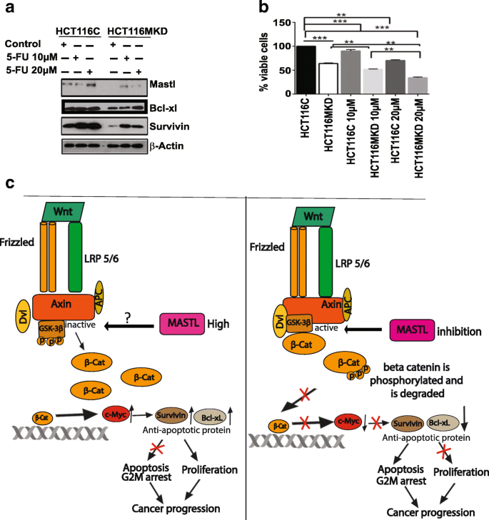 Mastl Induces Colon Cancer Progression And Chemoresistance By Promoting Wnt B Catenin Signaling Molecular Cancer Full Text