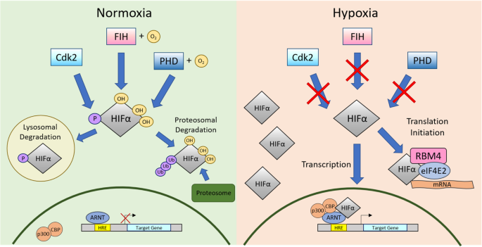 mRNA-to-protein translation in hypoxia | Molecular Cancer | Full Text