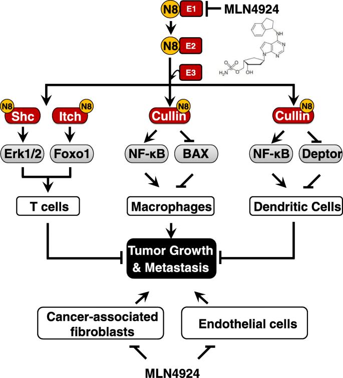 Neddylation: a novel modulator of the tumor microenvironment