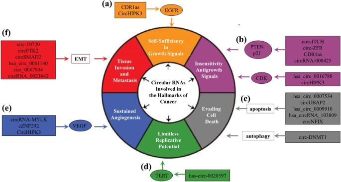 Circular RNAs in Cancer: emerging functions in hallmarks