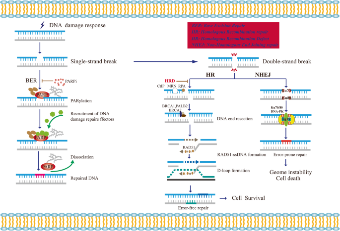 Parp Inhibitor Resistance The Underlying Mechanisms And Clinical Implications Molecular Cancer Full Text