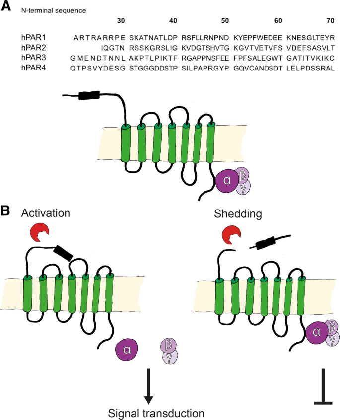 Protease-activated receptors (PARs): mechanisms of action and